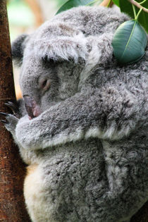 Schlafender Koala by buellom