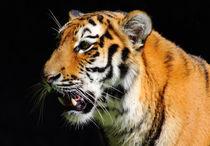 Tiger von buellom
