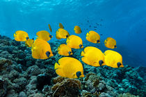 Reef Butterflys by Norbert Probst