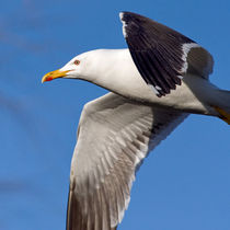 Black-Backed Gull by Keld Bach