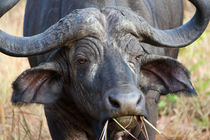African Buffalo by Carinne Gamas