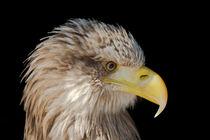 Eagle by Ralph Patzel