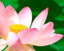 Lotusblüte– zart und exotisch von Ulrike Kröll