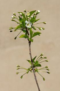 Kirschblüte by Ralph Patzel