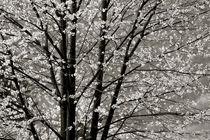 Blütentraum by © Ivonne Wentzler