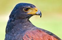Harris' Hawk Up Close by Keld Bach