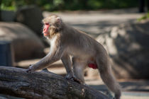 Japanese Macaque by safaribears