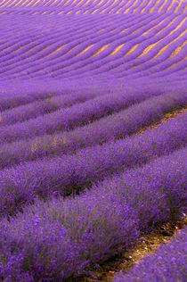 Kentish Lavender field von Dawn Cox