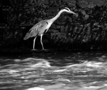 Black and White Grey Heron by John McCoubrey