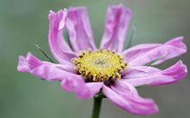 pinke Blüte von Jens Berger