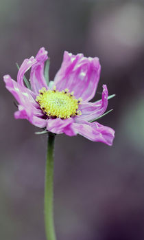 pink blossom by Jens Berger