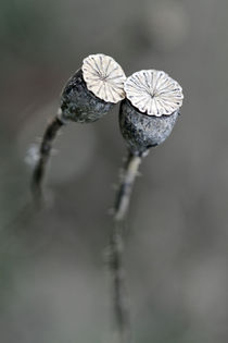 Mohnblüte von Jens Berger