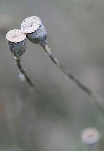 Mohnblüten von Jens Berger