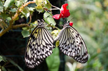 Butterflies in love by soulshots
