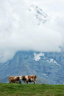 Schweizer Kühe by Bettina Schnittert