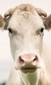 Cow and Proud by Lars Hallstrom