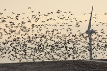 Nonnengänse und Windkraft - Barnacle Geese and wind power by ropo13