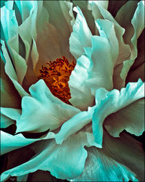 Peony Petals by Chris Lord