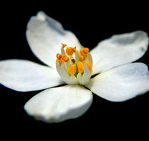 White Flower von Victoria Wise