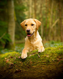 Golden labrador in woods on a log by Chris Day