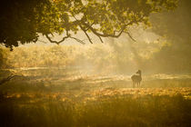 Fallow deer hind in misty sunlight 1 by Chris Day