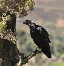 Thick billed Raven von Shaun Toft
