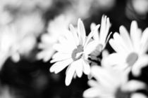 Flowers in Black & White by Chris Harvey