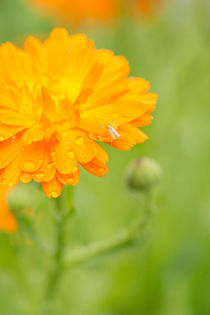 Orange flower and insect by Lars Hallstrom