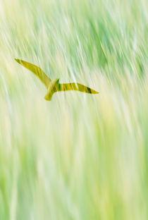 Soaring bird by Lars Hallstrom