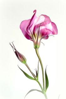 Eustoma von Kerstin Runge