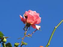 rose,rosa rot by elfriede zitas