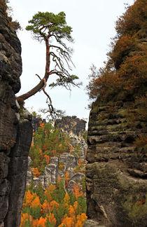 Standhafte Kiefer im Fels by Wolfgang Dufner