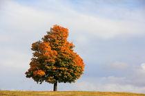 Ahorn im Herbst von Wolfgang Dufner