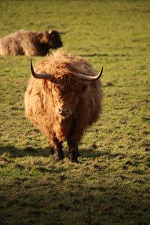 Highland Cattle by Samantha  Jackson