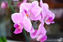 Pink Orchid by sisterofdarkness