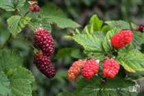 Loganberries by sisterofdarkness