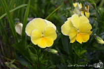 Yellow Pansies by sisterofdarkness