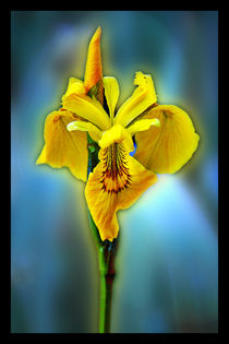 Yellow iris von Doug McRae