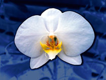 White-dream-on-blue-velvet