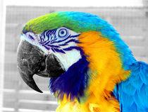 Yellow-ara