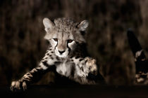 Cheetah cub, Masai Mara by Maggy Meyer
