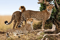 Cheetah mother and her two cubs von Maggy Meyer