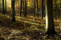 Beech forest by photogatar