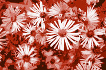 Daisies in Red by Kathleen Stephens