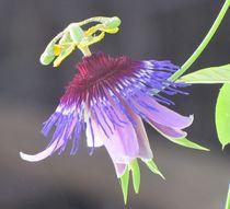 Passiflora amethystina 'Macae de Cimas' by bloomingpassion