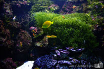 Yellow tang by sisterofdarkness
