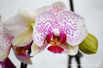 White/Pink Orchids by sisterofdarkness