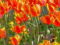 Tulpenmeer-ii