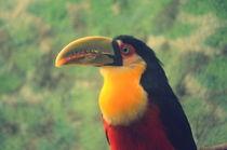 Tucano-de-bico-verde-ramphastos-dicolorus-1