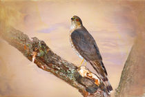 Sharp-shinned Hawk in Tree by Betty LaRue